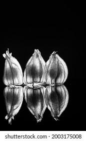 Leuchtende Physalis Frucht im schwarzen Hintergrund - Shutterstock ID 2003175008