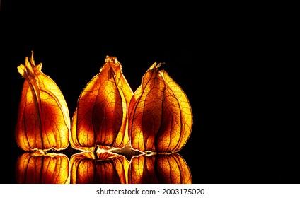 Leuchtende Physalis Frucht im schwarzen Hintergrund - Shutterstock ID 2003175020