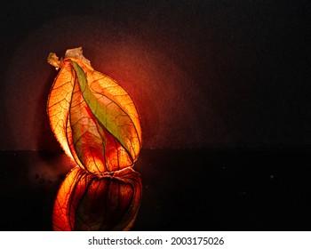Leuchtende Physalis Frucht im schwarzen Hintergrund - Shutterstock ID 2003175026