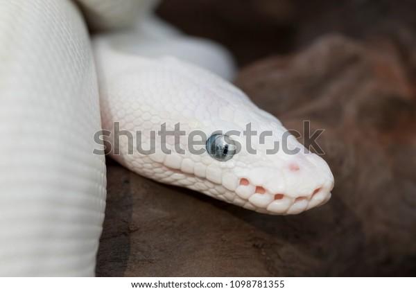Leucistic Ball Royal Python Snake Stock Photo (Edit Now) 1098781355