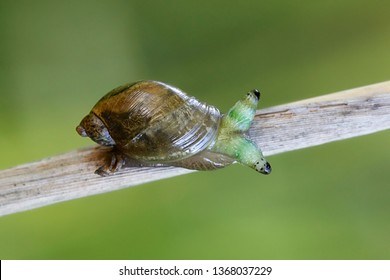 """Leucochloridium paradoxum, the green-banded broodsac, is a parasitic flatworm (or """"helminth"""") that uses gastropods as an intermediate host."""