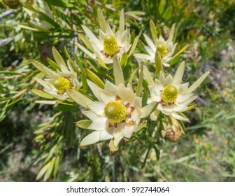 Leucodendron flowers