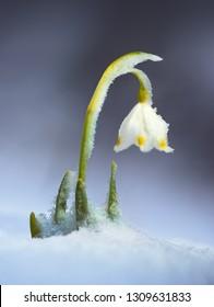 Leucojum vernum. Spring wildflower in the snow. Carptahians, Ukraine