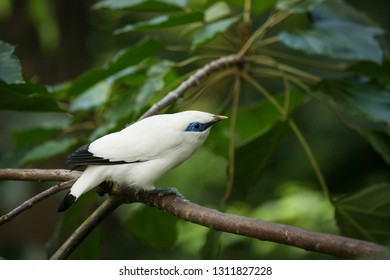 Leucopsar rothschildi exotic white bird on tree branch