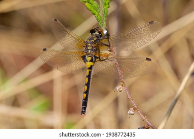 Leucorrhinia rubicunda or northern white-faced darter is a common dragonfly living on heathlands and in bogs in the Netherlands, this female has open wings and is warming up on calluna