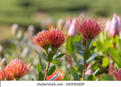 Leucospermum Glabrum x Tottum Evergreen Shrub: Flowering Plant in the Family Proteaceae.