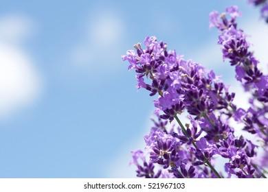 Levander in blue sky background, lavenders field