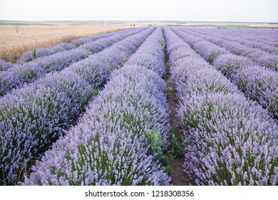 Levender flower, purple fields