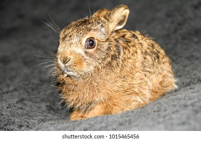 Leveret, a baby hare in a Wildlife Rescue following the death of her mother due to hare coursing