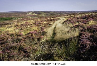 Levisham, Yorkshire, UK. Heather in bloom amongst the rugged undulating landscape of the North York Moors in the heart of Yorkshire,