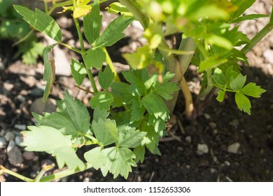 Levisticum officinale, known as lovage, growing in a cottage garden on a vegetable patch, used in traditional cuisine for soups, salads and fermented vegetables, healthy and delicious and easy-to-grow