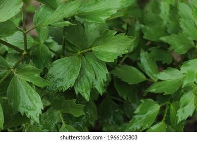 Levisticum officinale. Lovage.  Green plant in Romania