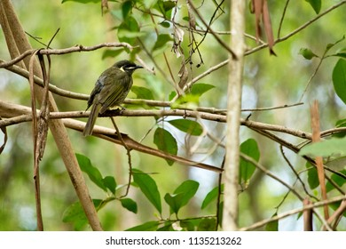 Lewin's honeyeater siting down on the twig. Australia.