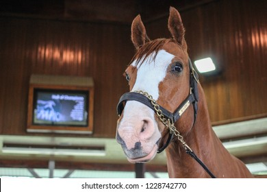 Lexington, Kentucky, USA - May 28, 2015: Be A Bono, a world famous Quarter Horse racehorse at the Kentucky Horse Park in Lexington. The Hall Of Champions showcases world class retired racehorses.