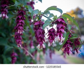 Leycesteria formosa foliage and flowers ( Himalayan honeysuckle, flowering nutmeg, Himalaya nutmeg or pheasant berry )