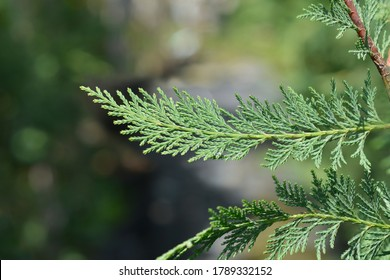 Leyland cypress - Latin name - Cuprocyparis leylandii