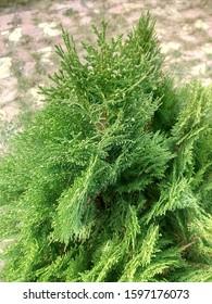 Leyland Cypress Tree  Calocedrus decurrens branch close up