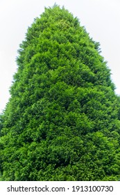 Leylandii (Leyland Cyprus x Cupressocyparis) an evergreen coniferous tree of very fast rapid growth not suitable as a small garden plant, stock photo image