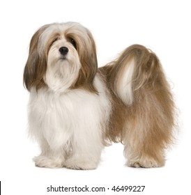 Lhasa apso, 1 year old, standing in front of white background