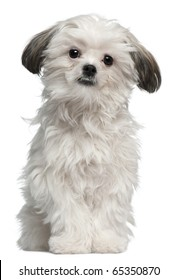Lhasa Apso, 7 months old, standing in front of white background
