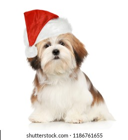 Lhasa Apso dog in Christmas red hat on white background