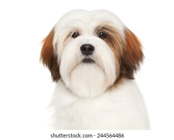 Lhasa Apso dog. Close-up portrait on a white background