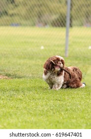 Lhasa Apso dog mix plays with a stick in a dog park in summer.