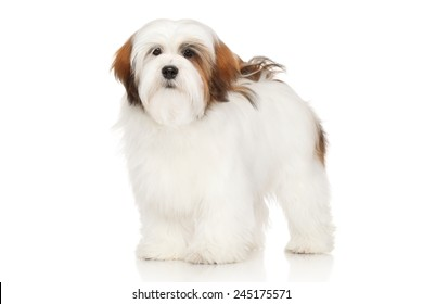 Lhasa Apso dog. Portrait in front of white background
