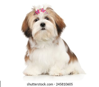 Lhasa Apso dog. Portrait on a white background