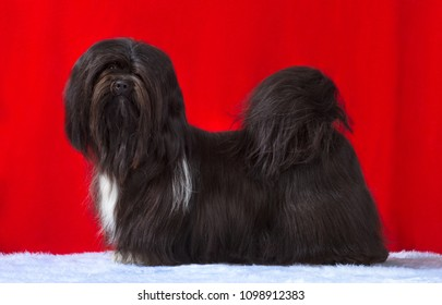 Lhasa Apso dog portrait, standing side profile, isolated on red background, in studio.