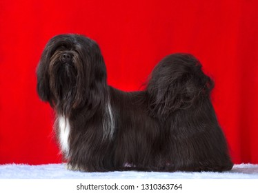 Lhasa Apso dog, studio portrait, stand   isolated on red background.