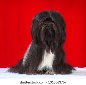 Lhasa Apso dog, studio portrait sits  isolated on red background.