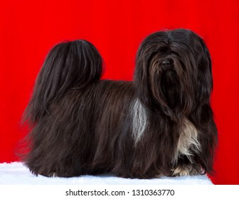 Lhasa Apso dog, studio portrait stand,   isolated on red background.