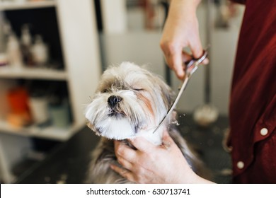 Lhasa apso at grooming salon. Selective focus on dog's eyes.