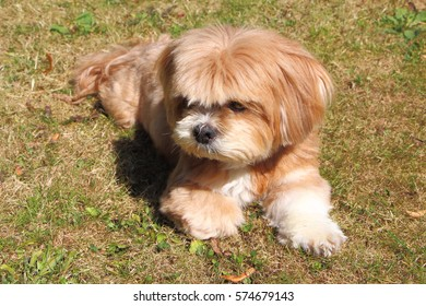 Lhasa Apso laying on grass