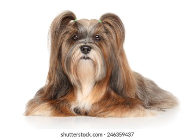 Lhasa Apso lying in front of white background