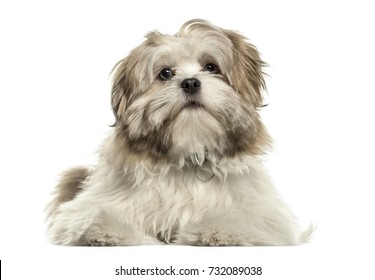 Lhasa apso lying looking at the camera, isolated on white
