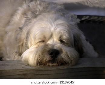 Lhasa Apso mixed breed dog sleeping outside at dusk.