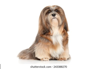 Lhasa Apso. Portrait on a white background