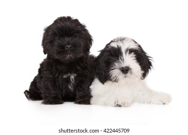 lhasa apso puppies on white together