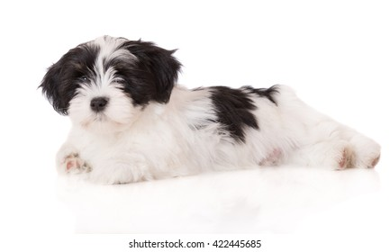 lhasa apso puppy lying down on white