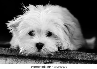 Lhasa Apso puppy resting