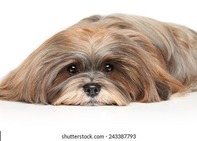 Lhasa Apso resting on a white background