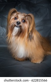 Lhasa Apso. A small dog.