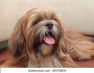 Lhasa Apso is sticking its tongue