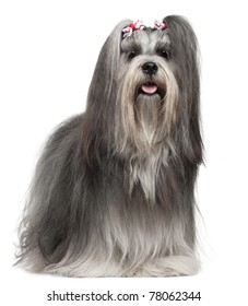Lhasa Apso wearing hairbows, 2 years old, in front of white background