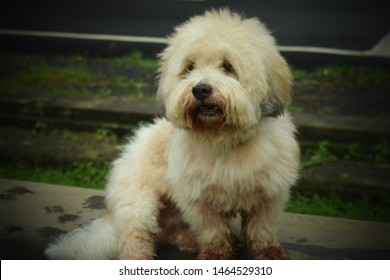 Bearded Lion Dog Images, Stock Photos & Vectors | Shutterstock