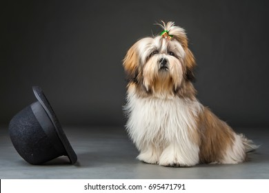 Lhasa-apso. Dog head climbed into the hat.