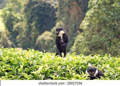 L'Hoest monkey in Rwanda