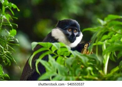 The L'Hoest's monkey (Cercopithecus l' hoesti) in tropical rainforests of Africa (Rwanda).